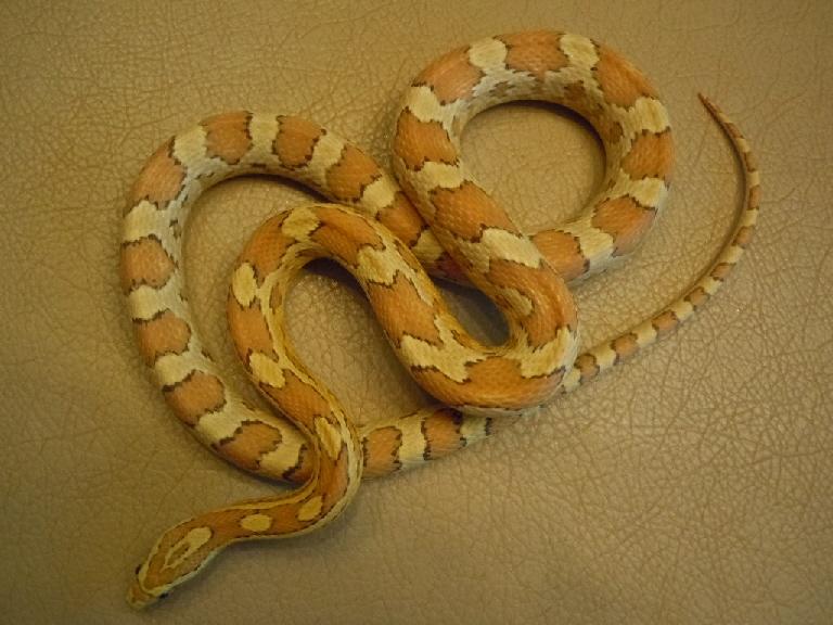 Name:  amber female.jpg Views: 211 Size:  209.0 KB